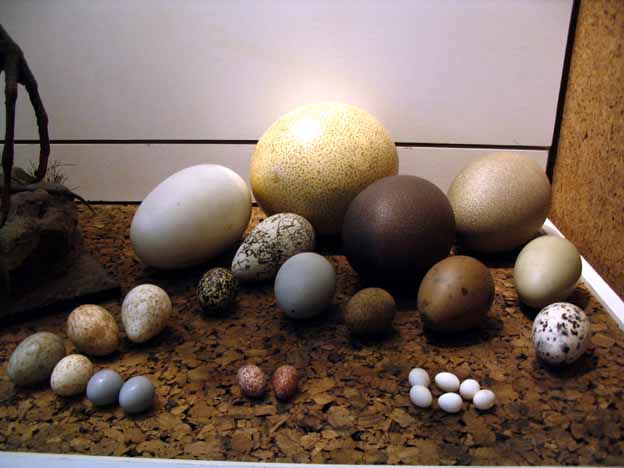Dodo Bird Eggs   www.pixshark.com - Images Galleries With ... Real Dodo Bird Egg